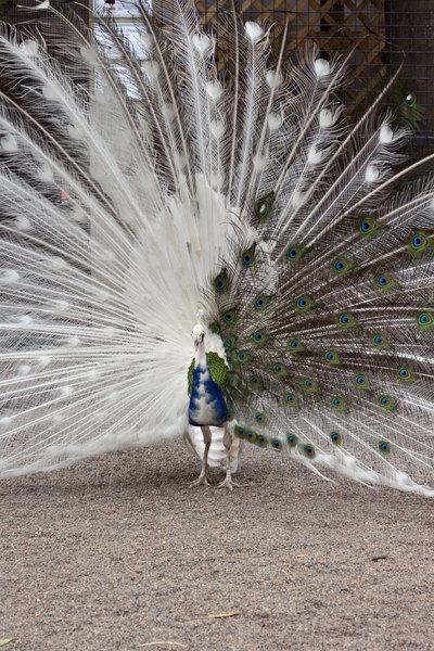 Albinopeacock1